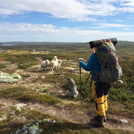 Får på Hardangervidda